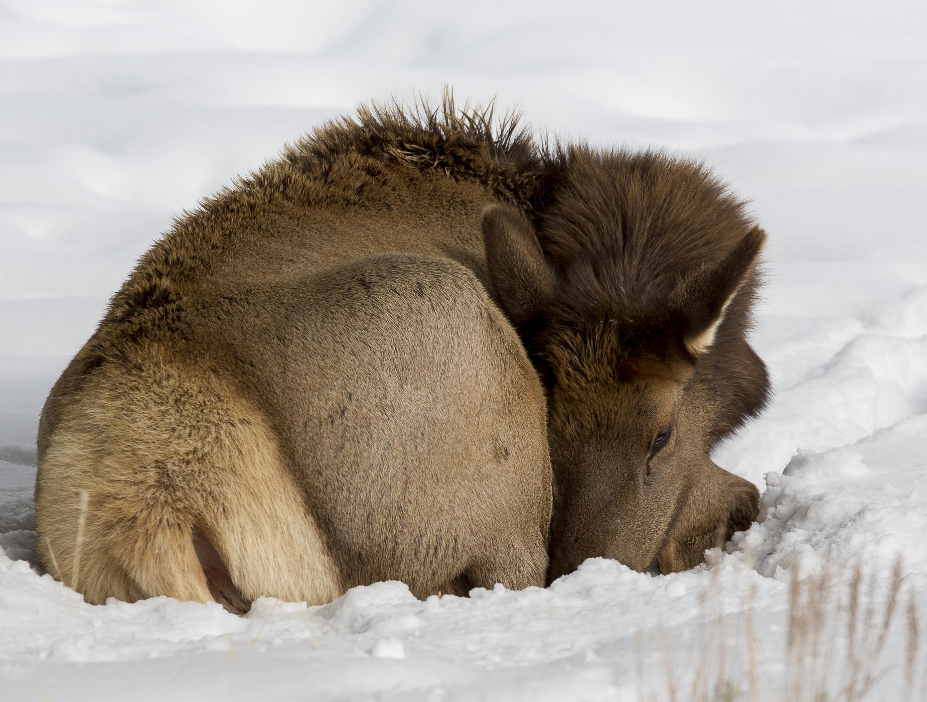 Yellowstone Animals (1 of 35).jpg
